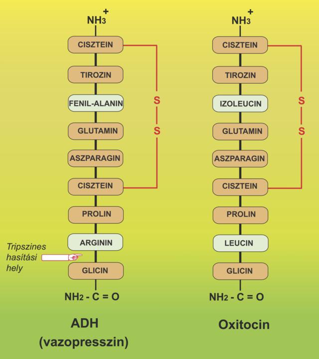 peptidek a pénisz növekedéséhez