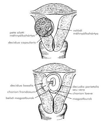 A pénisz mérete és a pénisznövelő eljárások - Hogyan lehet meghosszabbítani a pénisz péniszét