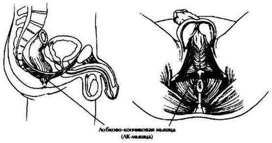 milyen gyakorlatokat lehet elvégezni a pénisz számára