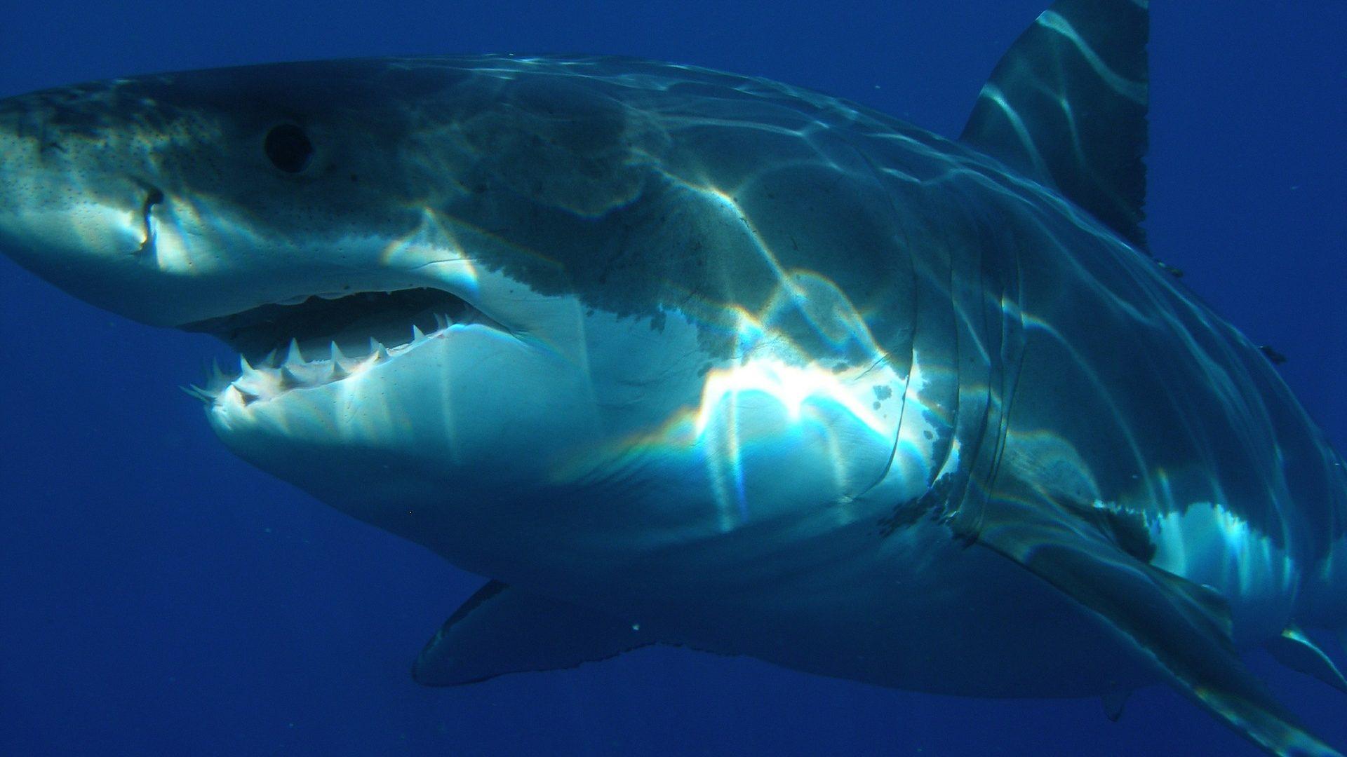 a cápáknak nincs péniszük