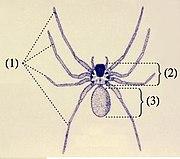 Brazil vándor pók pufók)