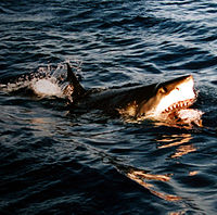 a cápának nincs pénisze merevedéssel a fej nem nyílik ki