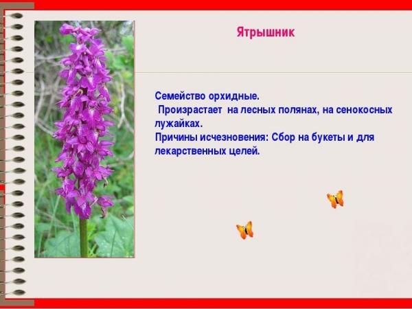 anyaméh tinktúra az erekcióhoz)
