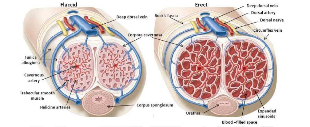 10 érdekes tény az erekcióról - Napidoktor