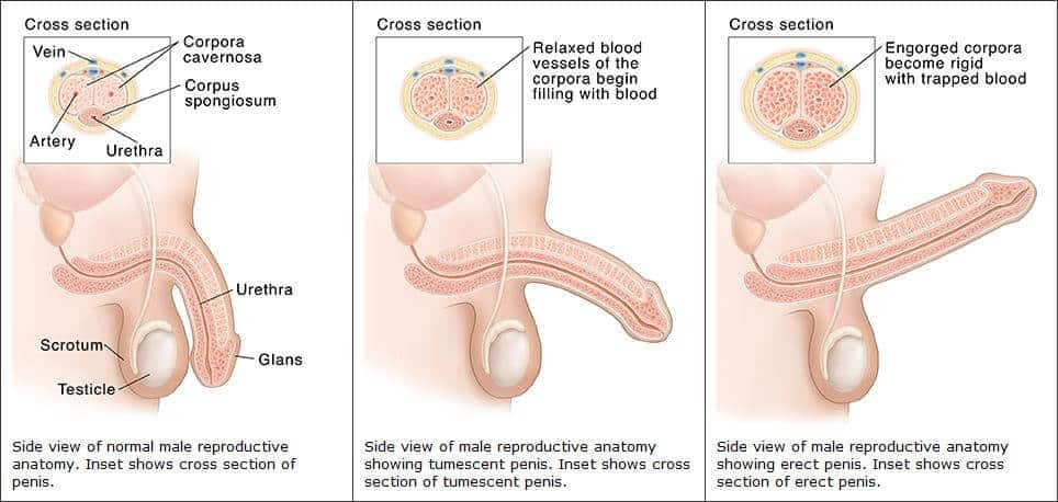 Az ornitin segíti a pénisz jobb vérellátását