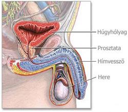 emberi pénisz szerkezete