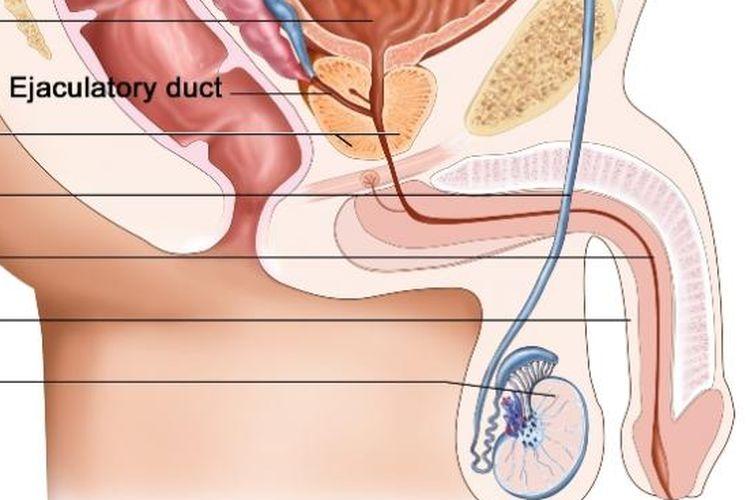 a pénisz normája az erekciós kezelés hiánya