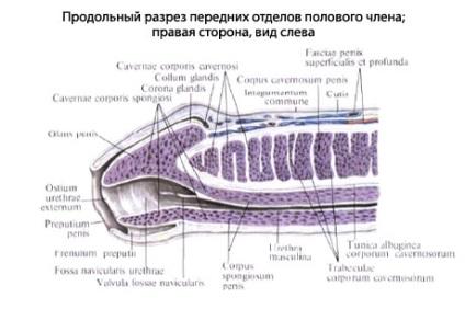 a pénisz szerkezete)