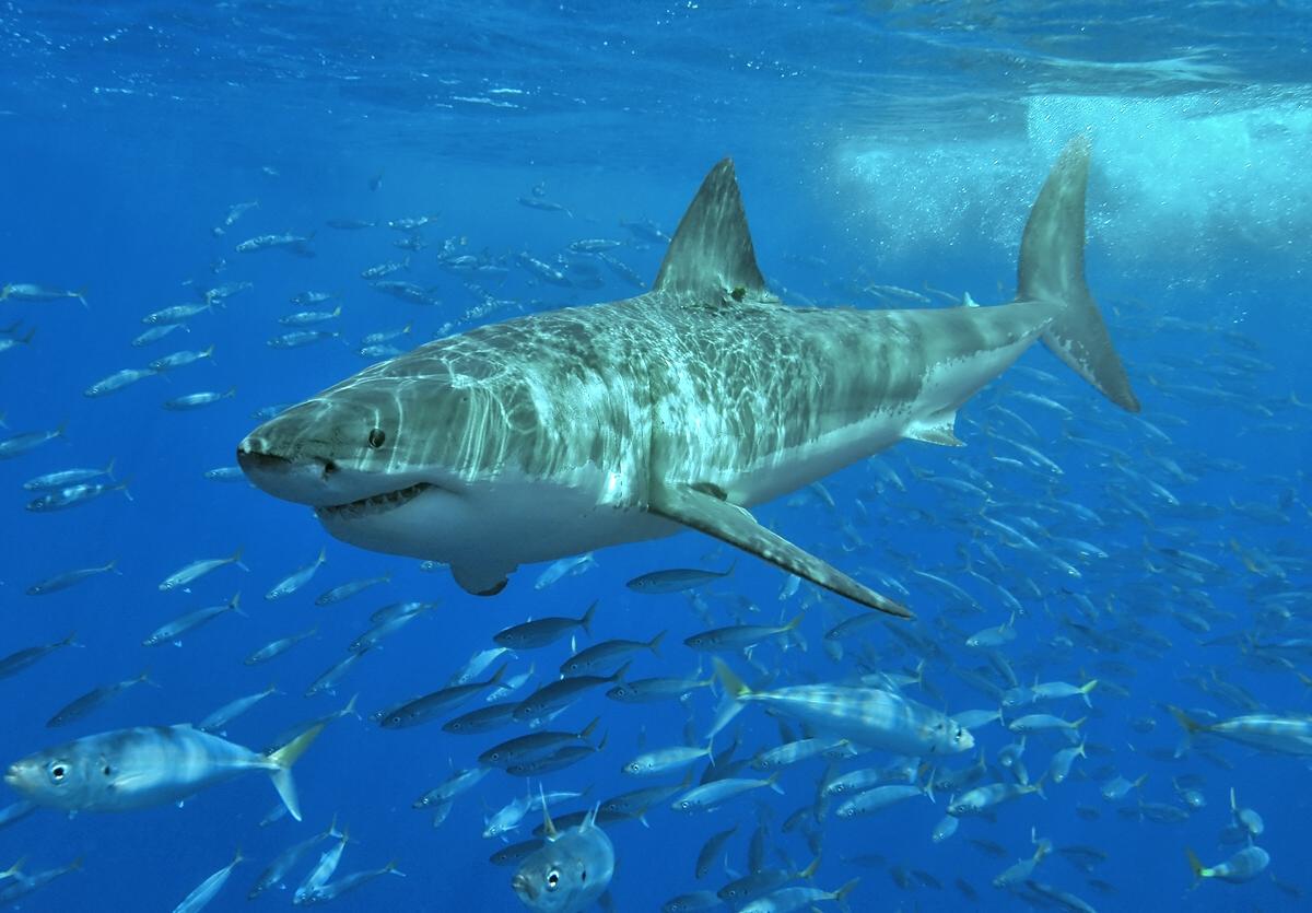 a cápának nincs pénisze péniszhosszabbító hogyan kell használni