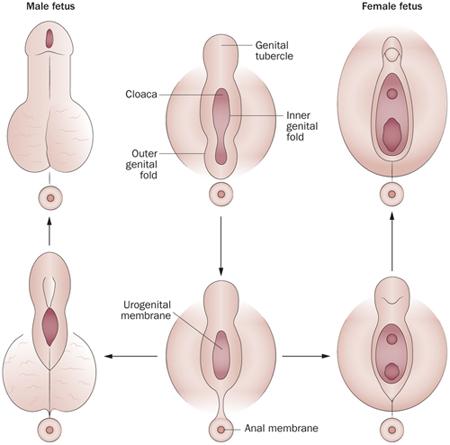 az erekció erősítésének módja