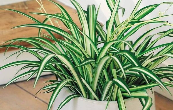 növények a hím erekciójához