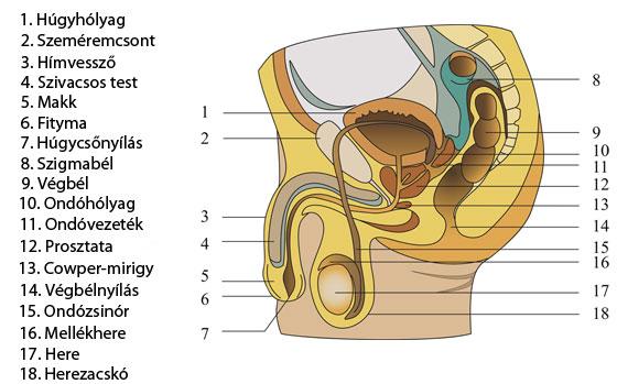 a pénisz és a herék szerkezete
