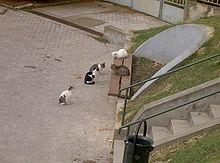merevedés kasztrált macskáknál)