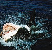 a cápának nincs pénisze