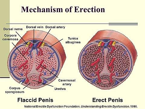 közösülés során az erekció alábbhagy