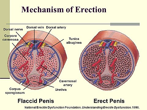 kontrollálhatják-e a férfiak az erekciót)