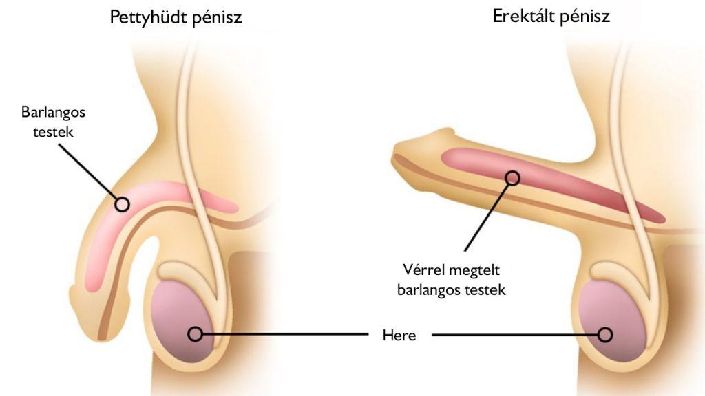 férfi szerv az erekcióban