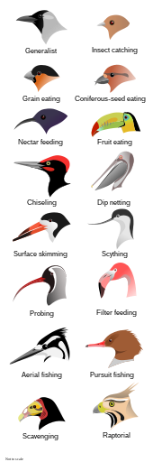 különböző fajok péniszei