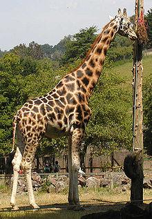 zsiráf pénisz hossza
