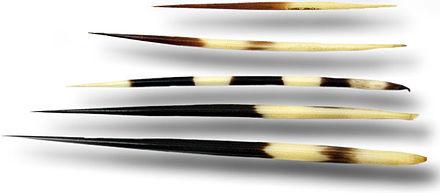 ceruza a péniszben