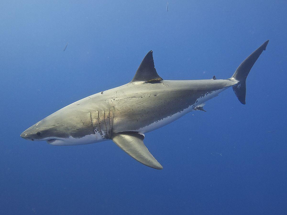 a cápáknak nincs péniszük)