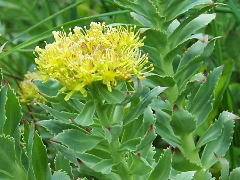 növény az erekció meghosszabbítására)