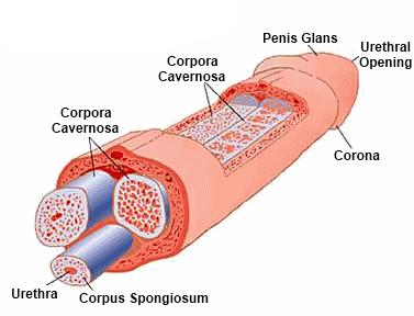 erekció során a pénisz puha lehet)