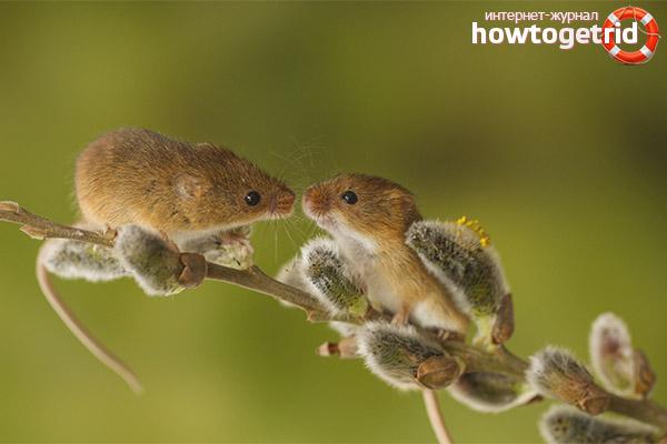 Baba egér fészek. Mit esznek a baba egerek - a baba egér élőhelye. Fajállapot a természetben